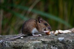 Mouse eating peanuts Royalty Free Stock Images