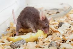 Mouse eats peace of apple Royalty Free Stock Image