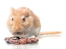 Mouse eats seeds Royalty Free Stock Photography