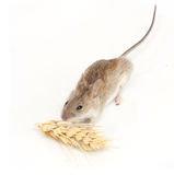 Mouse eats wheat Stock Images