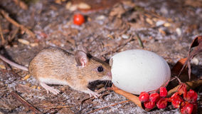 Mouse egg Stock Photo
