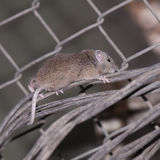 Mouse escalating wire. On the farm Royalty Free Stock Image