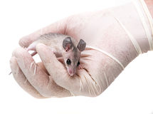 A mouse - experimental animal Stock Image