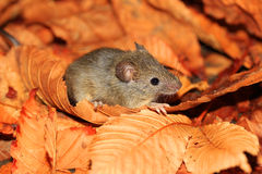 Mouse in fallen leaves Royalty Free Stock Photography