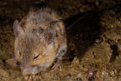 Mouse fam. Muridae near Toudon, France Royalty Free Stock Image