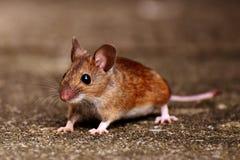 Mouse, Fauna, Muridae, Mammal