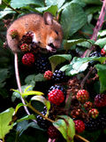 Mouse feasting on blackberries. A little mouse climbed into a blackberry bush and proceeded to eat all of the ripe blackberries Royalty Free Stock Image