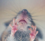 Mouse feet macro Royalty Free Stock Image