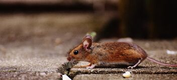 Mouse on floor Stock Images