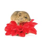 Mouse on the flower Royalty Free Stock Photos