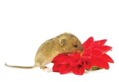 Mouse with a flower Stock Photo
