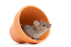 Mouse in flower pot isolated on white Stock Photography