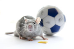Mouse and football over white. Stock Images