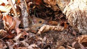 Mouse footed bianco Fotografia Stock Libera da Diritti