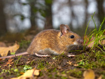 Mouse in the forest. Yellow necked mouse on the forest floor Stock Photos