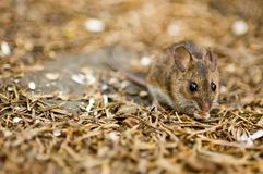 A mouse on the forest floor royalty free stock image