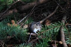 Mouse on Forest Floor. A mouse cleans its face on the forest floor Royalty Free Stock Photography