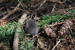Mouse on Forest Floor. A mouse eating seeds on the forest floor Royalty Free Stock Images