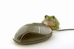 Mouse and frog. A computer mouse being used by a green frog Stock Photography