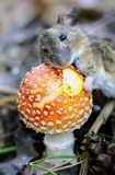 Mouse with the fungus. Little mouse nibbles orange fungus stock photo