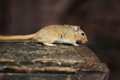 Mouse gerbil Stock Image