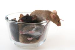Mouse in a glass. Mouse in the glass against a white background Stock Image