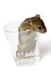 Mouse in glass Stock Images