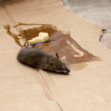 Mouse in GLUE mousetrap with cheese Royalty Free Stock Image