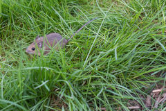 Mouse on the grass Royalty Free Stock Photo