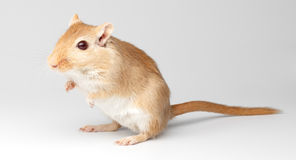 Mouse on a gray gradient. Fluffy mouse sit on a gray gradient  background Royalty Free Stock Image