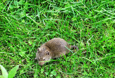 Mouse on green grass Stock Photography