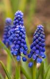 Mouse-grey hyacinth Stock Photos