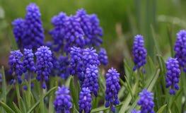Mouse-grey hyacinth Stock Photography