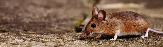 Mouse on ground Stock Image