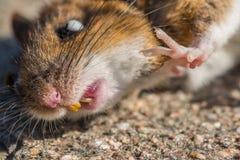 Mouse guasto Fotografia Stock Libera da Diritti
