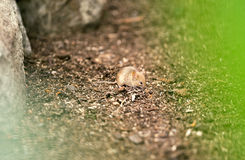 Mouse in habitat Royalty Free Stock Image