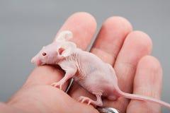 Mouse Hairless fotografie stock libere da diritti