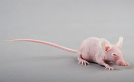 Mouse Hairless fotografia stock