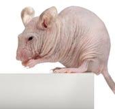 Mouse Hairless della Camera, musculus di Mus immagini stock