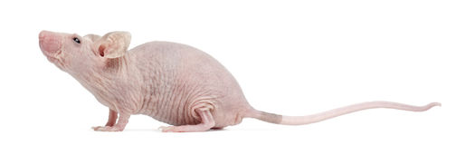 Mouse Hairless della Camera, musculus di Mus fotografia stock