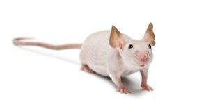 Mouse Hairless, musculus di Mus fotografia stock