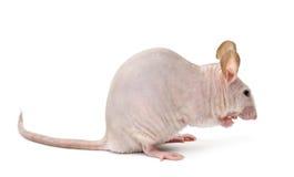 Mouse Hairless, musculus di Mus fotografie stock