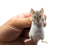 Mouse. In hand on a white background stock image