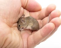Mouse in hand on white background Stock Photography