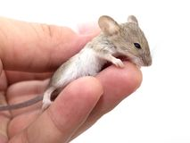 Mouse in hand on white background Royalty Free Stock Photography