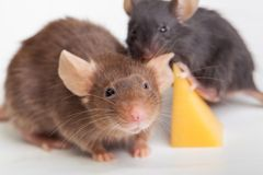 Mouse happiness Stock Images