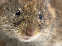 Mouse head close up. Close up of head of Bank vole mouse (Myodes glareolus) with snout, whiskers and eyes Stock Photography