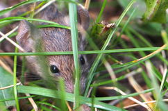 Mouse Hiding In Grass Royalty Free Stock Image