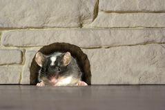 Mouse in hole royalty free stock images