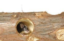 Mouse in hole Royalty Free Stock Photo